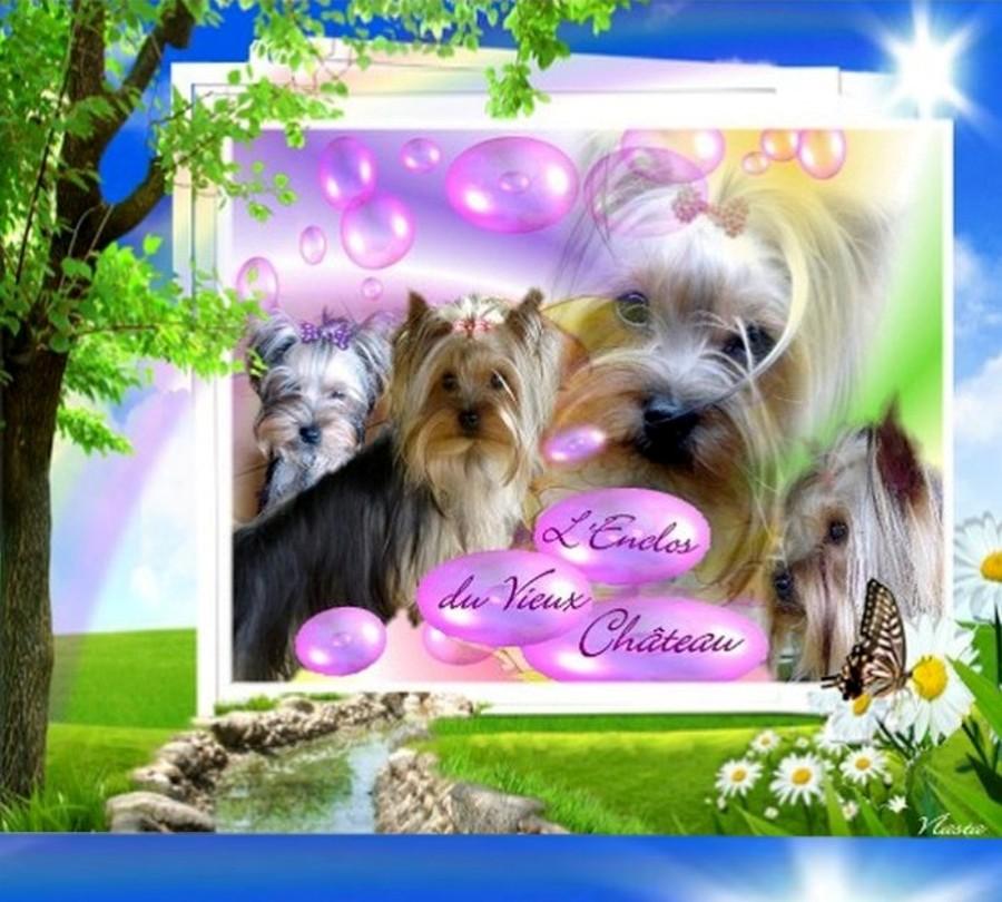 Le Yorkshire Terrier de l'Enclos du Vieux Chateau-Elevage Familial-Chiots yorkshire à vendre-